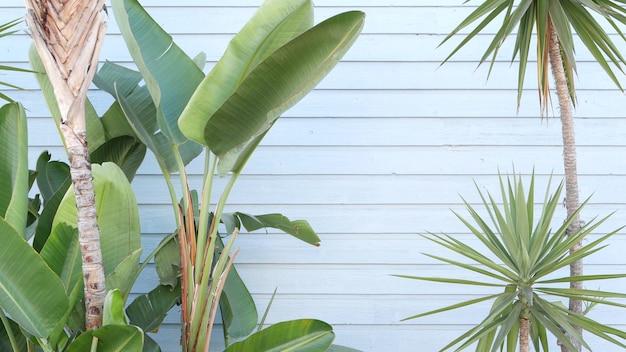 Strelitzia bird of paradise flower, california usa. santa monica and venice beach.  blue wooden wall