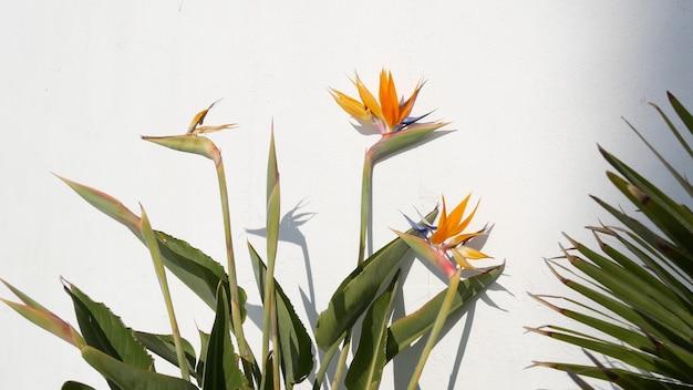 Strelitzia bird of paradise tropical crane flower, california usa. exotic floral blossom, white wall