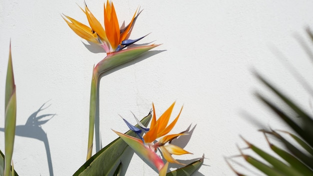 Strelitzia bird of paradise tropical crane flower, california usa. orange exotic floral blossom, shadow on white wall, natural trendy houseplant for home gardening. los angeles summertime atmosphere