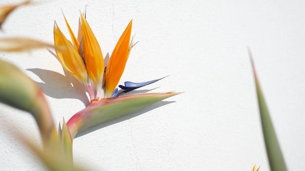 Strelitzia bird of paradise tropical crane flower, california usa. orange exotic floral blossom