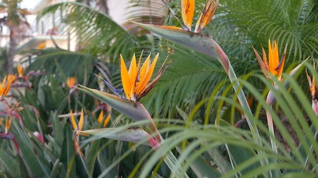 Strelitzia bird of paradise tropical crane flower, california usa. orange exotic vivid floral blossom, amazon jungle rainforest atmosphere, natural lush foliage, trendy houseplant for home gardening