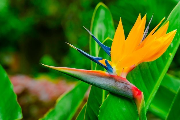 Strelitzia reginae. beautiful bird of paradise flower, green leaves in soft focus. tropical flower on tenerife, canary islands, spain.