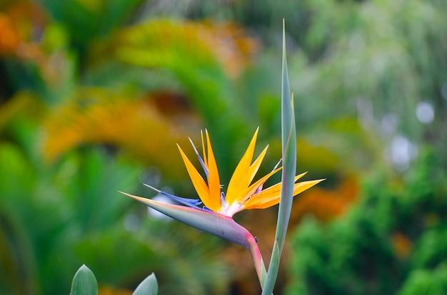 Strelitzia reginae flower closeup (bird of paradise flower).