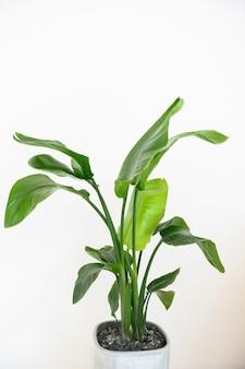 Strelitzia reginae plant in flowerpot