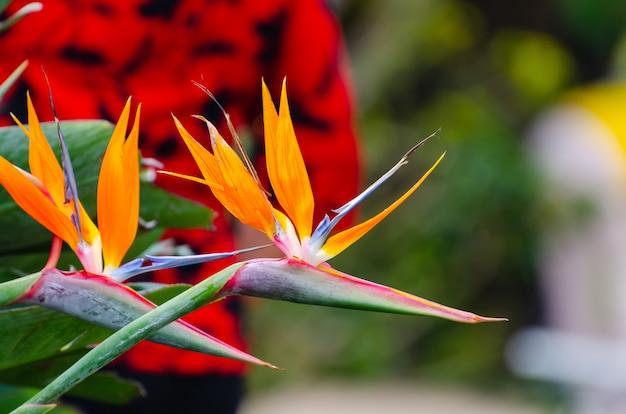 Strelitzia reginae花のクローズアップ(鳥の楽園の花)。