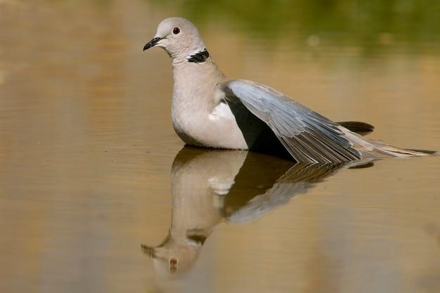 Streptopelia decaocto пьет в прудовой воде летом, птиц, голубей, ошейниковый голубь, туртур
