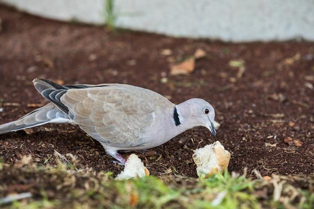 地面にパンの残り物を食べるユーラシア襟付き鳩、streptopelia decaocto。プエルトリコ、スペインのグランカナリア島