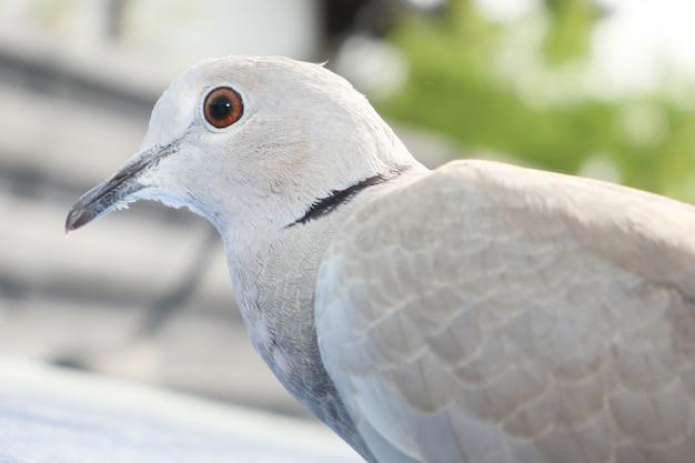 灰色のウミガメstreptopelia dekaocto鳥の肖像画