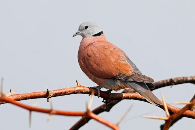 赤襟付き鳩streptopelia tranquebaricaタイの美しい男性の鳥