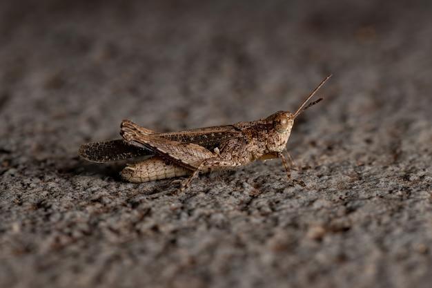 Stridulating slant-faced grasshopper of the genus orphulella