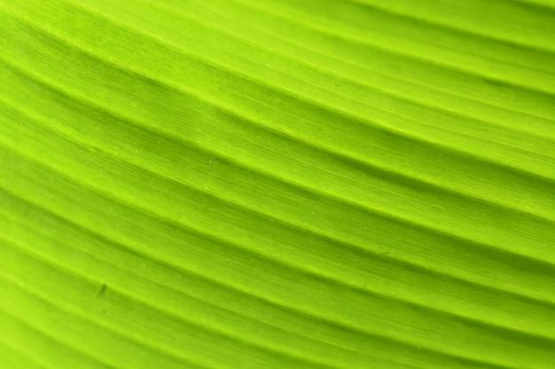 Stripe on the green banana leaf background