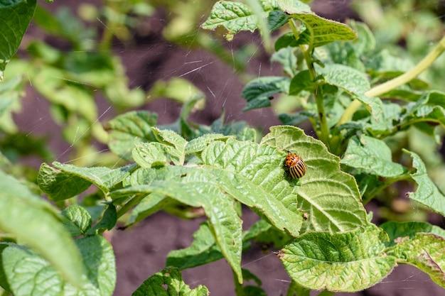緑のジャガイモの葉、作物の破壊、寄生虫、殺虫剤の縞模様のコロラドハムシ