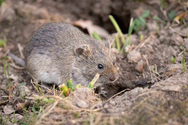 The striped field mouse
