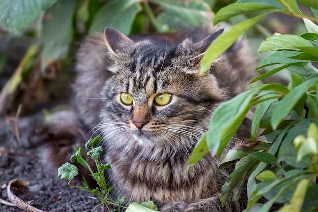 庭の茂みの中に大きな表情豊かな目を持つ縞模様のふわふわ猫