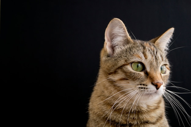 Striped fluffy domestic cat on black background.