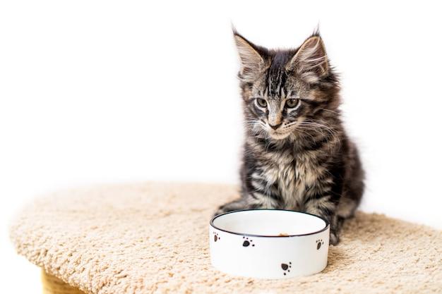 줄무늬 회색 메인 coon 새끼 고양이 음식 그릇 앞에 앉아