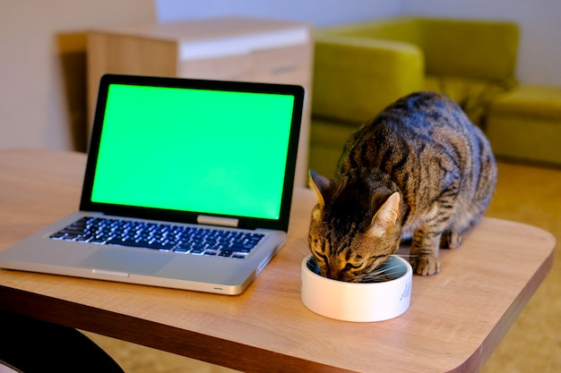 Striped grey cat eating from the plate on the wooden table near chromakey green display on silver