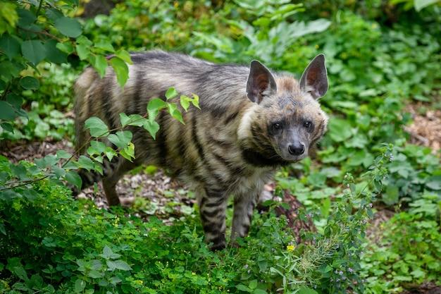 줄무늬 하이에나, hyaena hyaena. 자연 서식지의 동물. 풀밭에서 하이에나