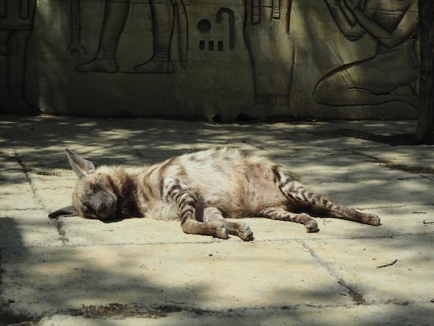Striped hyena lying down sleeping against the rocks