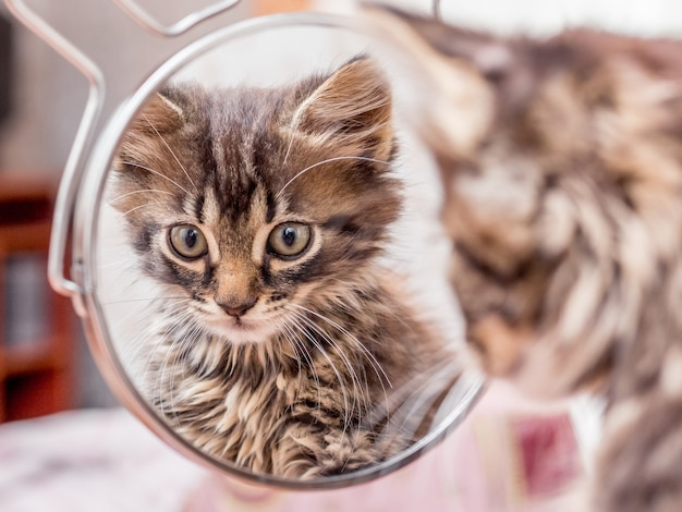 The striped kitten looks in the mirror and admires its beauty_