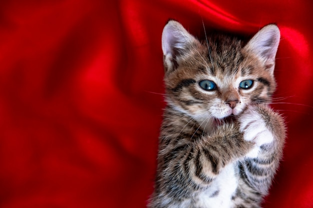 Striped kitten lying on back paws in mouth over red textile.