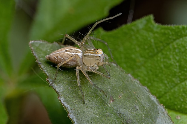 Striped lynx spider of the genus oxyopes