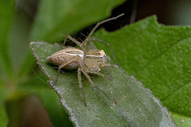 Oxyopes 속의 줄무늬 스라소니 거미