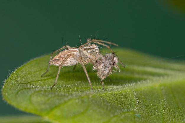 사이코다 속의 나방 파리를 잡아먹는 oxyopes salticus 종의 줄무늬 스라소니 거미