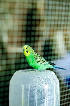 Полосатый попугай в вольере