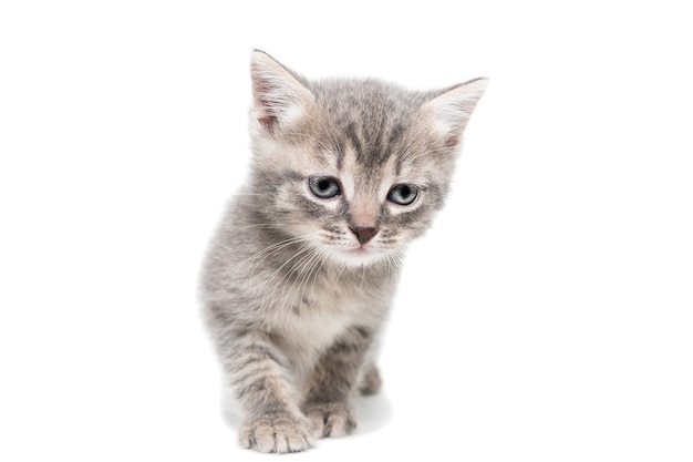 Striped purebred kitten sits on a white background