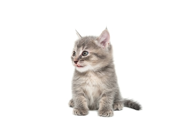 A striped purebred kitten sits on a white background