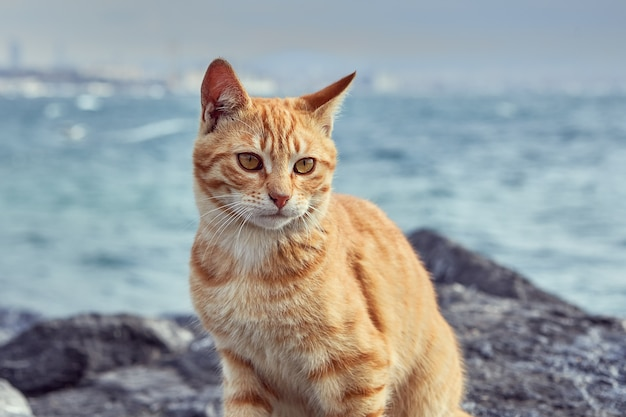 줄무늬 빨간 고양이는 터키 이스탄불 골든 혼 해협 근처 해안 바위에 앉아