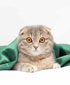 縞模様のスコットランドの子猫は孤立して座っている純粋な品種を折ります