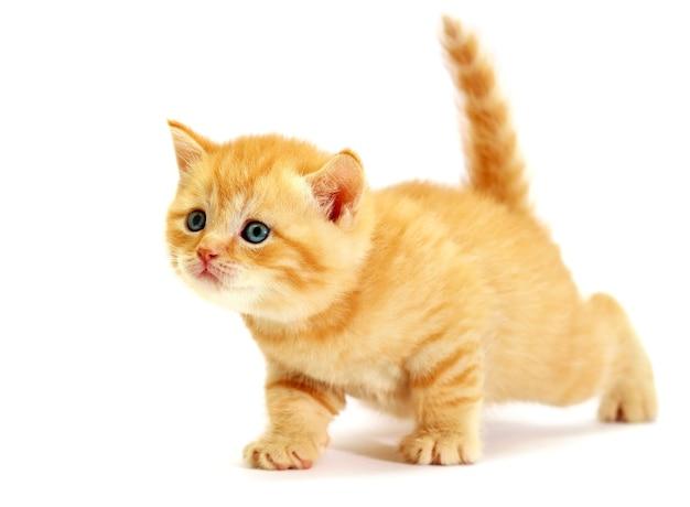 Striped scottish kitten. kitten on a white background. small predator.