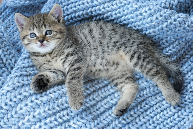 Striped scottish little kitten on a blue woolen knit