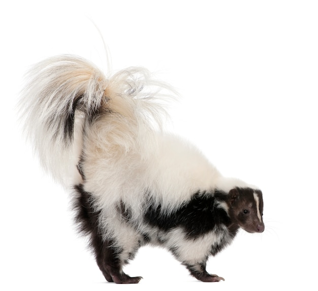 Striped skunk, mephitis mephitis, standing on a white isolated