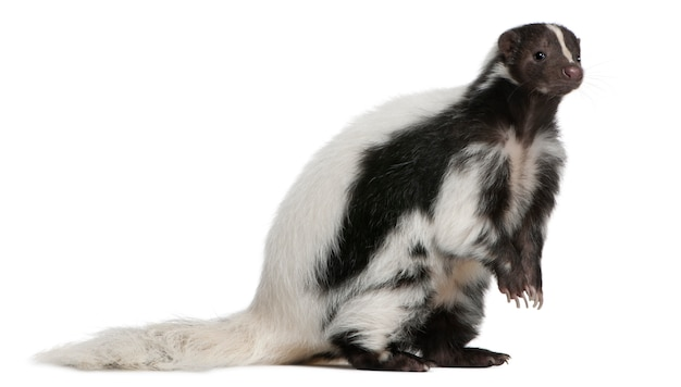 Striped skunk, mephitis mephitis standing on white isolated