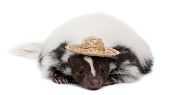 Striped skunk, mephitis mephitis, wearing a hat on a white isolated
