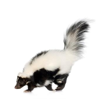 Striped skunk - mephitis mephitis on white