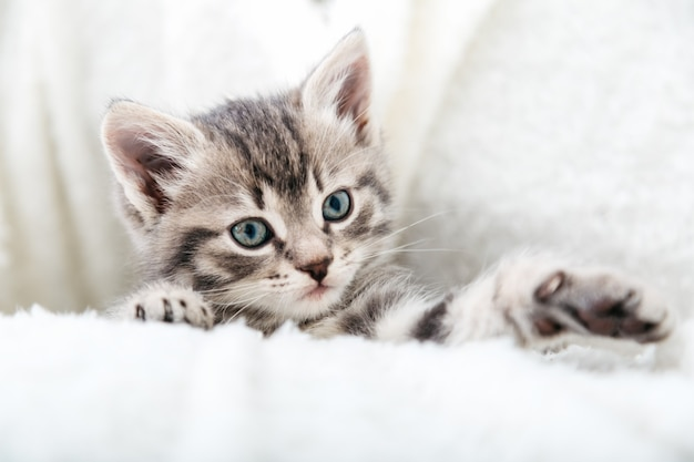 Striped tabby kitten. portrait of beautiful fluffy gray kitten playing. cat, animal baby, kitten with big eyes sits on white plaid.