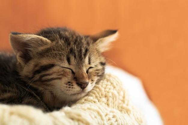 Striped tabby kitten sleeping curl up on white fluffy blanket. beautiful fluffy cute gray kitten. cat, animal baby, kitten lies on white plaid.