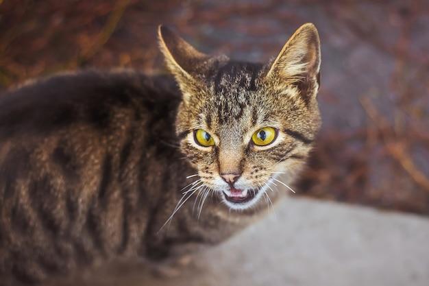 줄무늬 어린 고양이가 울부 짖고 그 자극을 표현합니다.