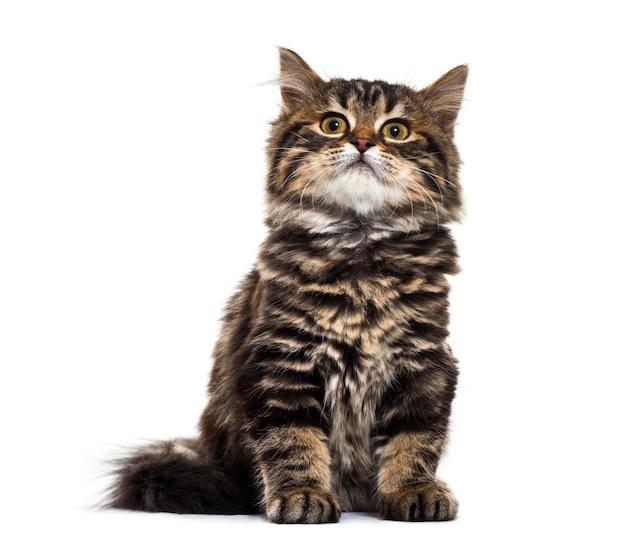 박탈 된 새끼 고양이 혼합 품종 고양이 앉아, 흰색 절연 올려