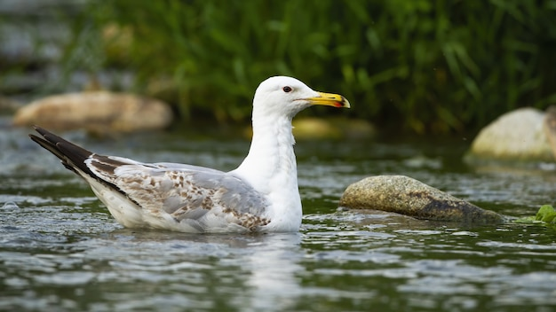 Strong caspian gull swimming on water of stream in summer