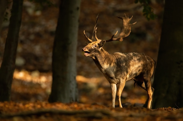 Strong fallow deer, dama dama, roaring inside forest in autumn at sunset. magnificent stag calling in woodland during rutting season. antlered wild mammal standing in fall nature.