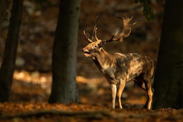 Сильный лань, dama dama, рев в лесу осенью на закате. великолепный олень в лесу во время гона. рогатое дикое млекопитающее, стоящее в природе падения.