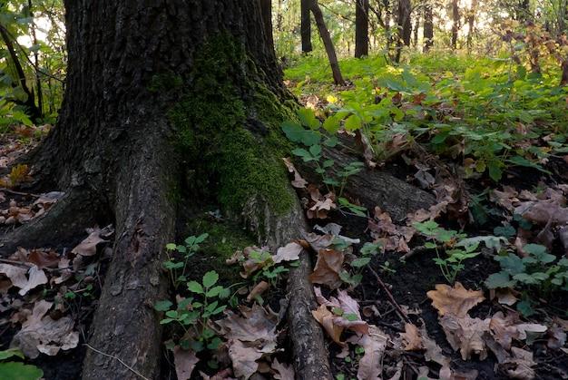森の中の苔で覆われた強いオークの根
