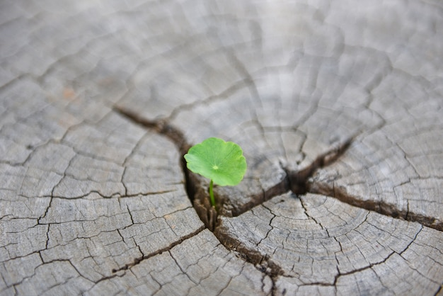 Strong seedling growing in the center trunk of cut stumps