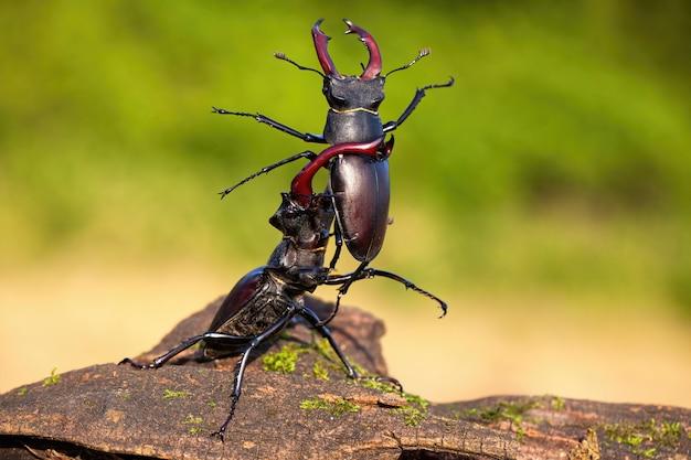 Сильный жук-олень, поднимающий соперника над головой