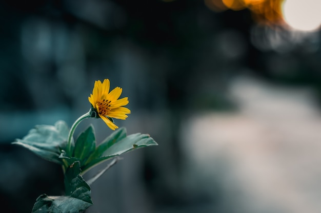 A stronger singapore daisy grow steadily in the wind and sunshine at the blurry concrete city background.